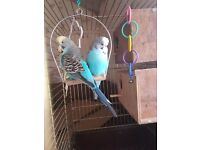Pair of exhibition show budgies