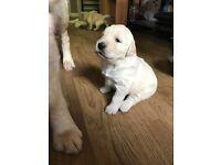 Six beautiful golden retriever puppies for sale
