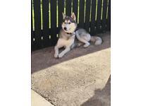 Husky (Siberian) Full Breed