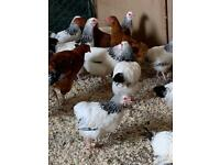 Light Sussex and Rhode island chickens hens