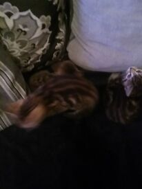 8 week old kittens for sale