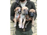8 beautiful lurcher puppies
