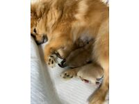 3 baby Pomeranian pups for sale