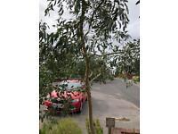 Eucalyptus tree for free