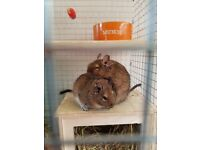 2 very cute female degus looking for their forever home