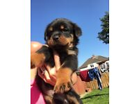 Rottweiler female kc ready 2nd August