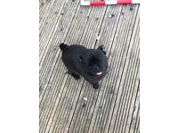 Black pug for sale