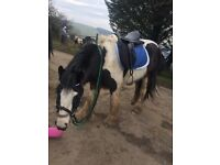 13.1hh pony for sale