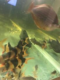 12 clown loach fish - good sizes