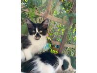 Kittens (half oriental)