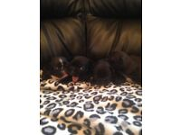 French bulldog puppies available to reserve now