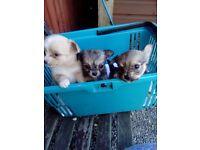 Chauchuwa puppys
