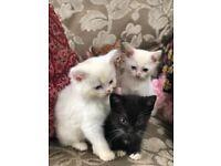 Affectionate 4 kittens- KT3