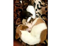 Beautiful Chihuahua Cross Puppies