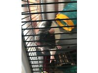 2 male rats for sale with large cage and some food