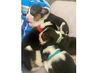 4 KC Registered Beagle Puppies Ready September 2021