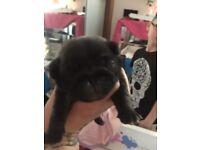 Pug puppy s