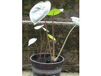 Dwarf Elephant Ear house plant