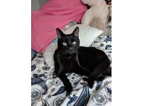 YOUNG BLACK CAT FOUND