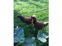 2 chicken for sale
