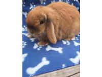 Mini lop male rabbit