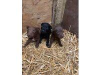 fell terrier girl puppies