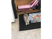 AVAILABLE NOW Beautiful tabby kitten