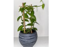 Vanilla planifolia- climbing orchid plant