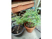2 x garden shrubs in planters
