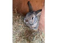 Beautiful neutered dwarf rabbit
