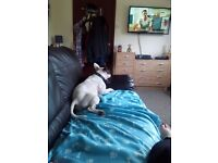 Staffordshire Bull Terrier Cross French Bulldog