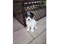 Biewer Terrier Boy for sale preferable in Reading area.
