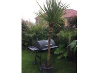 Double cordyline garden