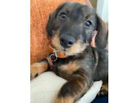 5 month old female wire haired Dachshund