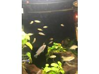 Mbunas fishes fry
