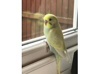 BBABY TAME BUDGIES FOR SALE, BEAUTIFUL COLOUR WITH CAGE