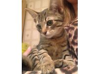 Lovely tabby make kitten for sale