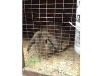 Dutch Lop Rabbit (Male) 1 year old with hutch