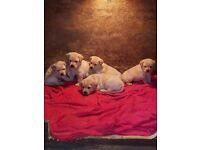 Labradour pups for sale