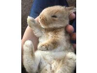 Frsnch lop rabbits for sale