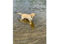 Labrador retriver