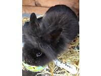 Lionhead female rabbit and hutch