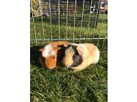 Baby Guinea pigs for sale!