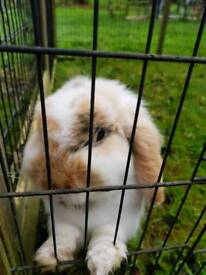 Male bunny & double hutch