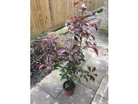 4ft Photinia Red Robin shrub plant in pot.