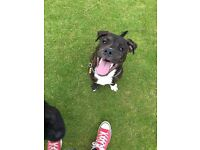 5 month old rottweiler cross staff needs a loving home!
