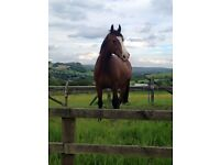 18 y/o ex BSJA Gelding Free to Good home
