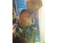 5 Discus fish. ( 4 inch plus)
