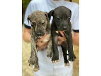 Bull x Lurcher puppies