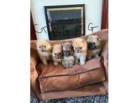 5 beautiful Pomeranian puppies